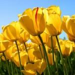 s-Tulips